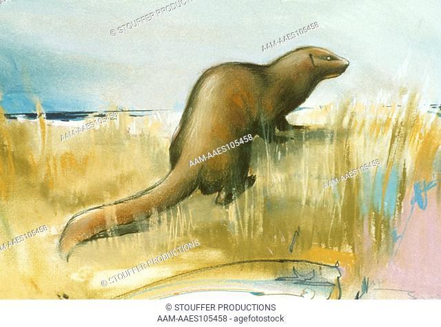 Sea Mink - Extinct species