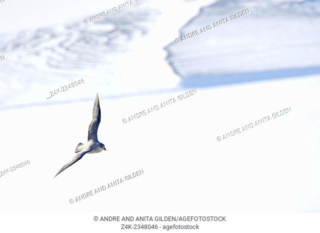 Northern Fulmar (Fulmaris glacialis) flying over frozen fjord, Svalbard