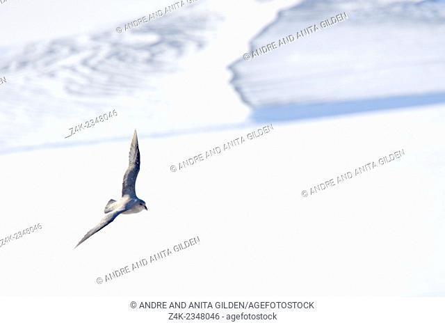 Northern Fulmar (Fulmaris glacialis) flying over frozen fjord, Svalbard