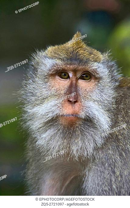 A portrait of a crab-eating macaque, Indonesia. Crab-eating macaques typically do not consume crabs; rather, they are opportunistic omnivores