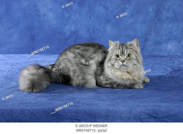 Persian, Cat, silver-tabby,side