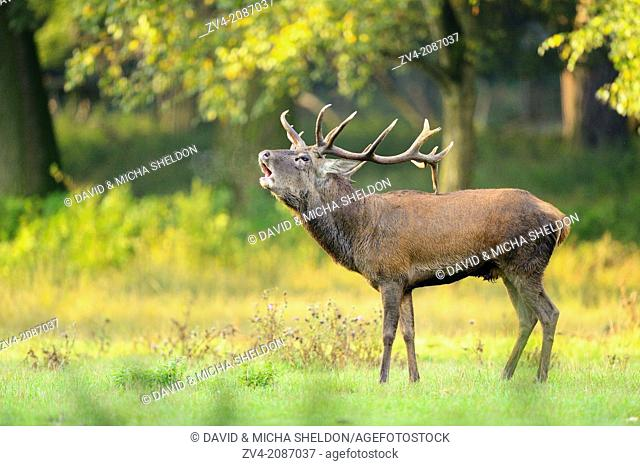 A Red deer (Cervus elaphus) male on a early foggy morning roaring at the edge of the woods