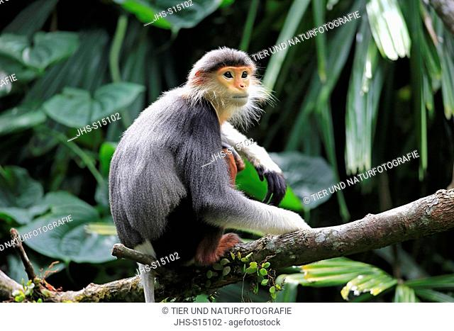 Douc Langur, (Pygathrix nemaeus), adult on tree, Asia