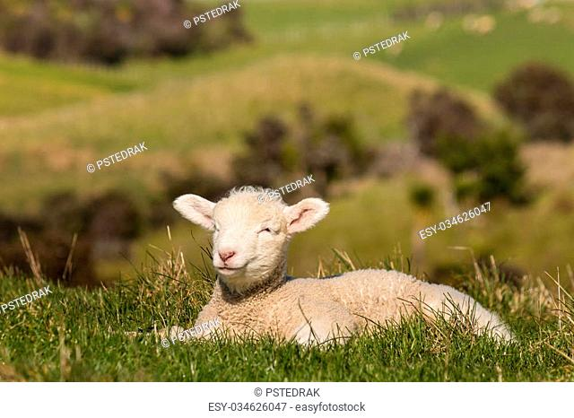 sleepy newborn lamb resting on grass
