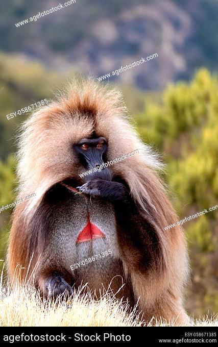 alpha male of endemic animal Gelada monkey. Theropithecus gelada, Simien Mountains, Africa Ethiopia wildlife