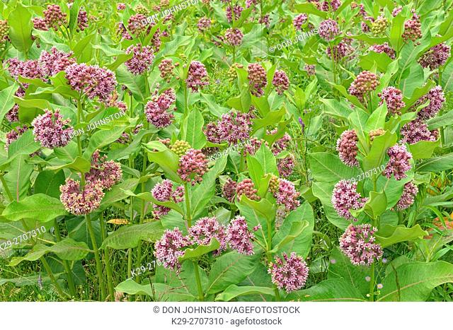 Common milkweed (Asclepias syriaca) Flowers, Greater Sudbury, Ontario, Canada