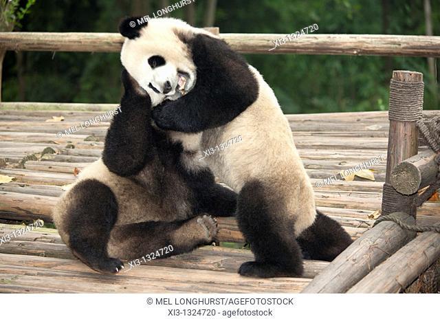 Giant pandas, Ailuropoda melanoleuca, at the Giant Panda Breeding Research Base, Chengdu, Sichuan Province, China