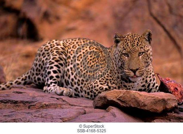 namibia, okonjima, leopard panthera pardus in evening light on red rock, feeding