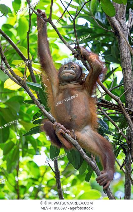 Bornean Orangutan young Semenggoh Wildlife Rehabilitation Center, Kuching, Sarawak, Malaysia, Borneo, Asia