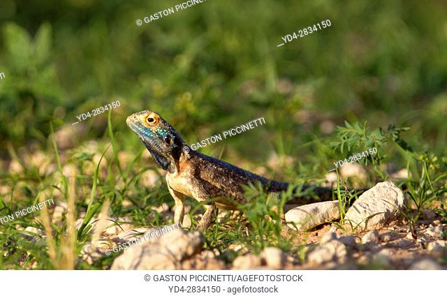 Ground agama (Agama aculeta) - Male, Kgalagadi Transfrontier Park, Kalahari desert, South Africa/Botswana