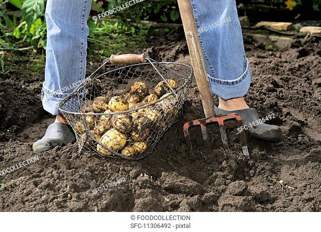 Freshly dug potatoes in garden