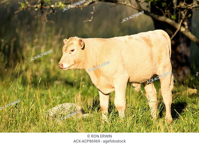 Young bull charolais cross calf, Barrie Island, Ontario, Canada