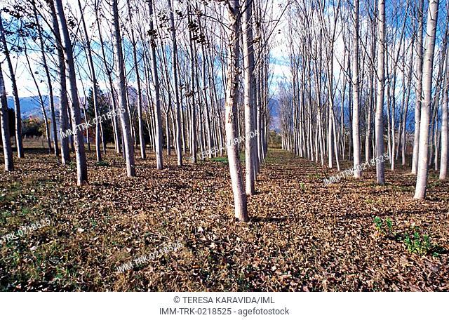 Trees, Edessa, Macedonia Central, Greece