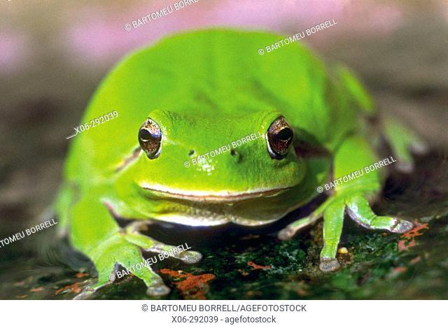 Stripeless Tree Frog (Hyla meridionalis)
