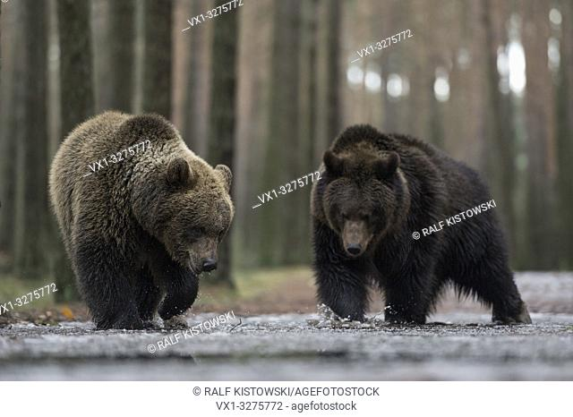Brown Bear ( Ursus arctos ), walking through shallow the water of an ice covered puddle, exploring the frozen water, looks funny, Europe