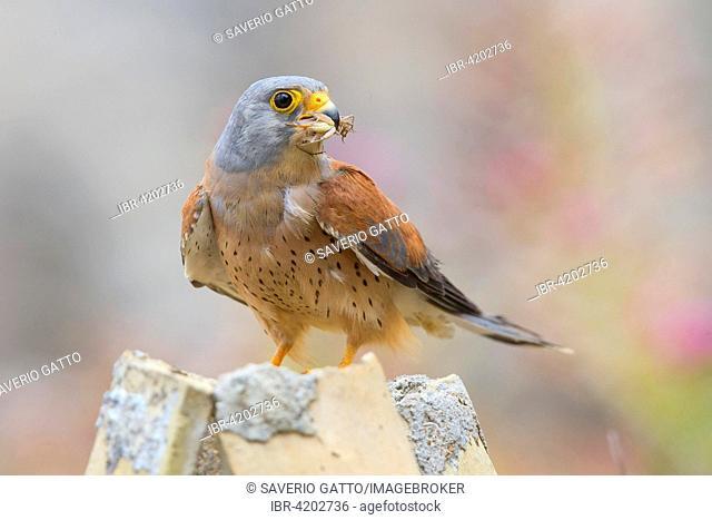 Lesser Kestrel (Falco naumanni), adult male with prey, Matera, Basilicata, Italy