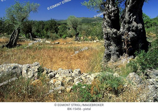 Fields and old olive trees at Santa Agnes de Corona, Ibiza, Spain