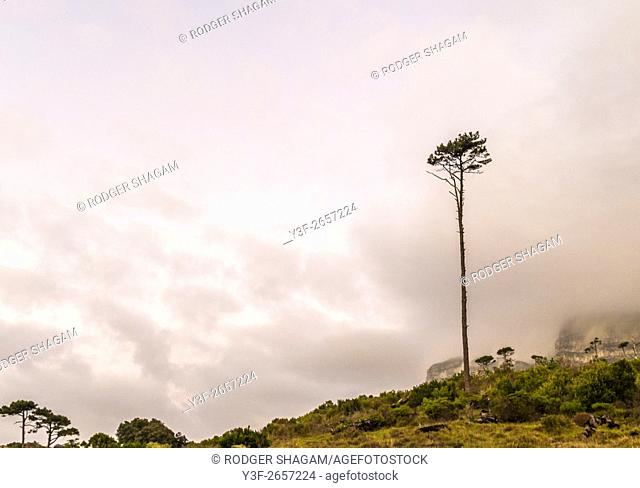 Lone pine tree stands tall on a mountainside. Newlands forest, Cape Town, South Africa