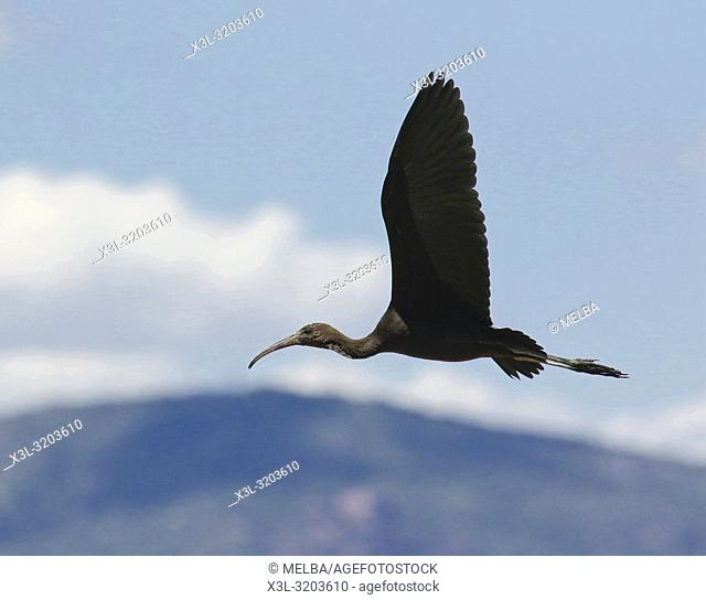 Glossy ibis, Plegadis falcinellus, Delta LLobregat natural park. Catalunya. Spain