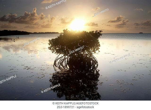 Sunset and silhouette of a mangrove tree at Key West, Florida, USA