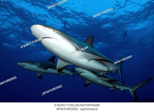 Caribbean Reef Shark, Carcharhinus perezi, Caribbean, Bahamas