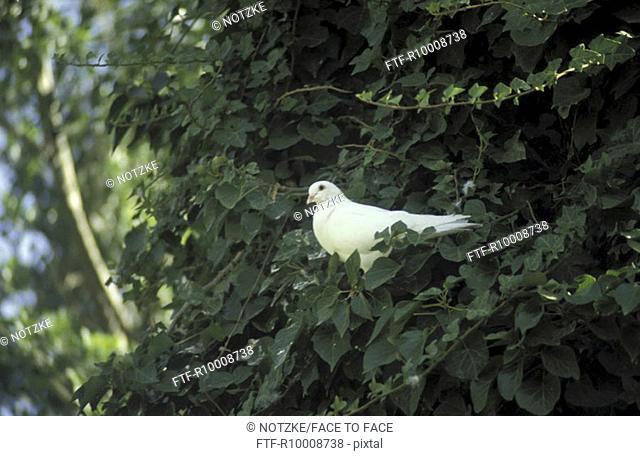Dove in a tree, Mallorca, Palma