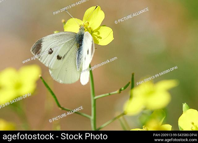 13 September 2020, Brandenburg, Potsdam: The butterfly Great cabbage white butterfly sits on a flower in Sanssouci Park. Summery temperatures have returned to...