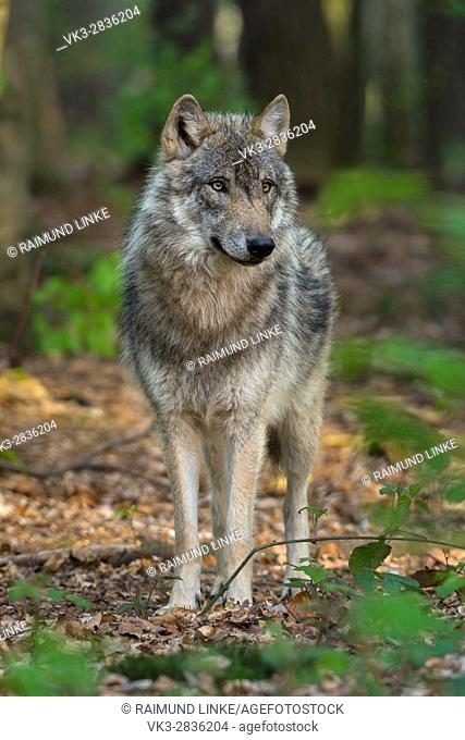 Wolf, Canis Lupus, Germany, Europe