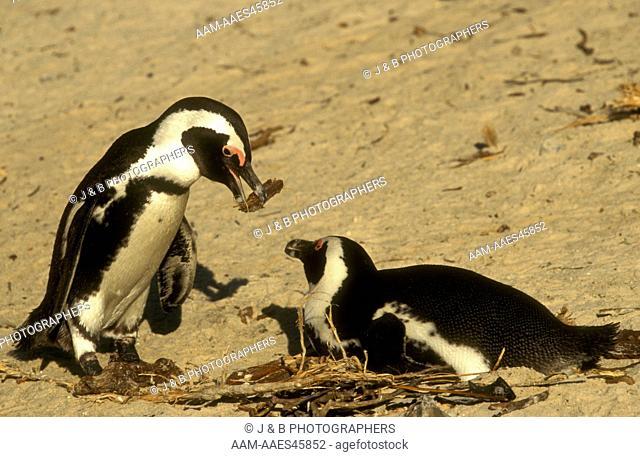Jackass Penguins w/ nesting (Spheniscus demersus) Boulders - So. Africa