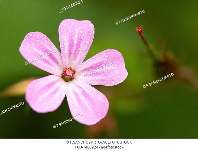 Flower (Geranium robertianum) in spring
