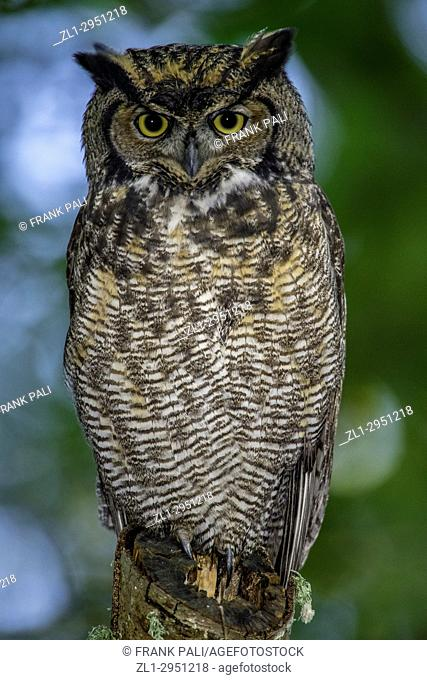 Great Horned Owl ( Bubo virginianus ) perched on tree limb in the coastal forest of British Columbia