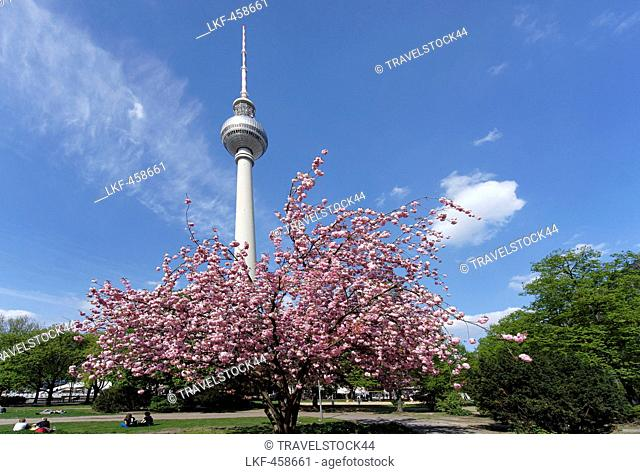 Cherry blossom at Alexanderplatz square, Berlin, Germany