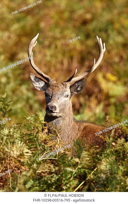 Red Deer Cervus elaphus stag, head amongst bracken, Bradgate Park, Leicestershire, England, autumn