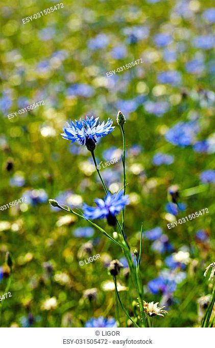 flower cornflower, cornflower growing in the field. Close-up