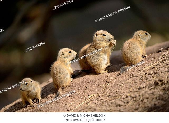 Group of black-tailed prairie dog youngsters