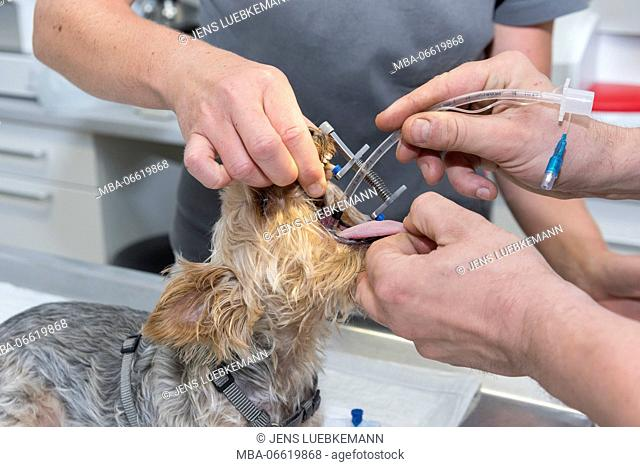 Dog at the veterinarian, anaesthesia, intubation, implementing of a pharyngeal tube