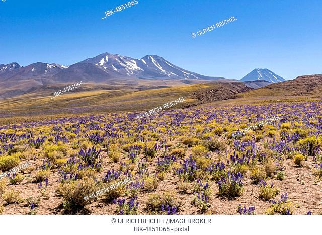 Purple blooming plateau, Altiplano with the Cerro Lena and volcano Chiliques, Ruta 23 near Socaire, Región de Antofagasta, Chile