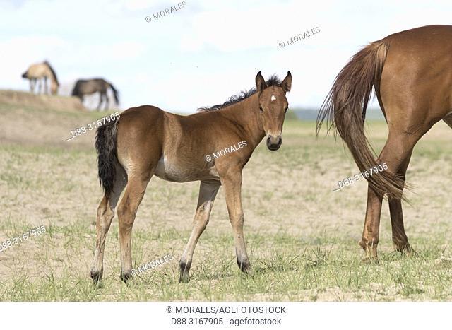 China, Inner Mongolia, Hebei Province, Zhangjiakou, Bashang Grassland, one foal