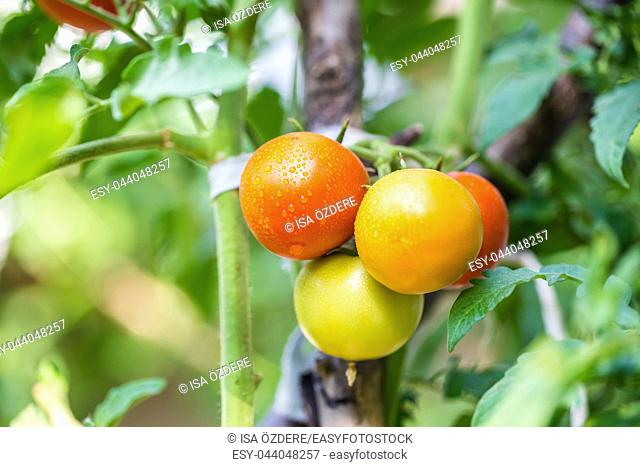Big organic ripe red, green and yellow vine tomatoes fruits hanging on branch with water droplets in garden