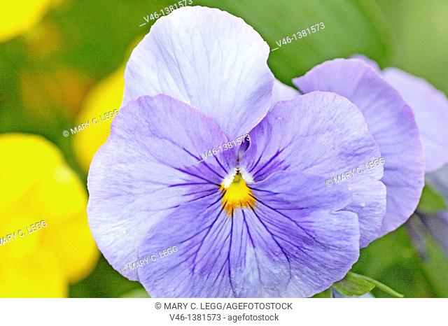 Large round blue pansy  Periwinkle blue pansy with small yellow center  In background there are blurred yellow pansies