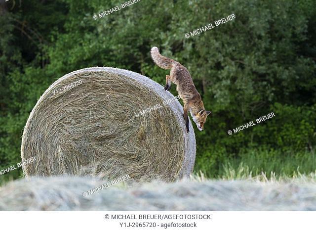 Red fox (Vulpes vulpes), Summer, Hesse, Germany, Europe