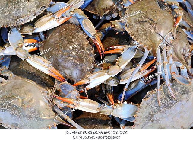 Close up of live blue crabs