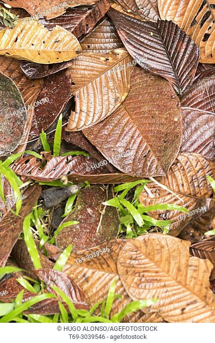 Carpet of fallen leaves on the floor of the jungle. Costa Rica