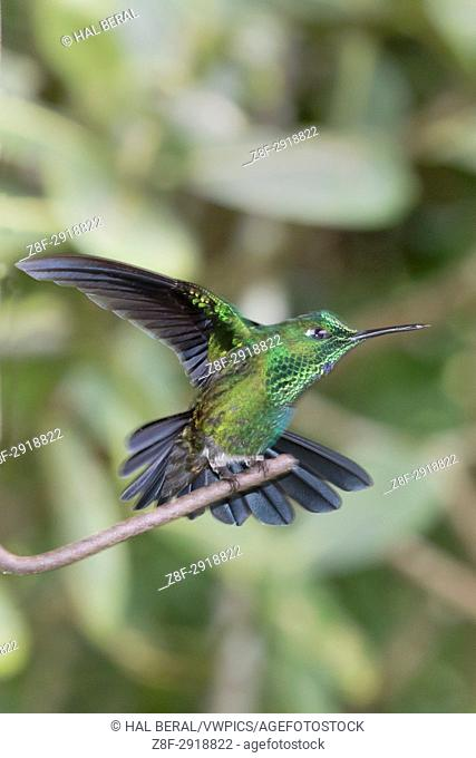 Green-Crowned Brillant Hummingbird (Heliodoxa jacula) Costa Rica