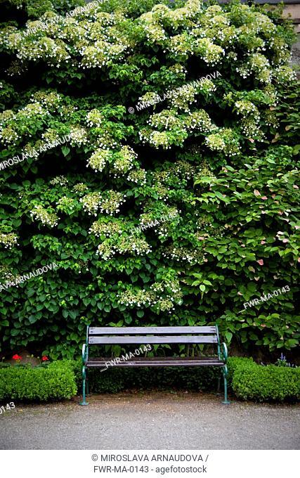 Hydrangea petiolaris, Hydrangea, Climbing, White subject