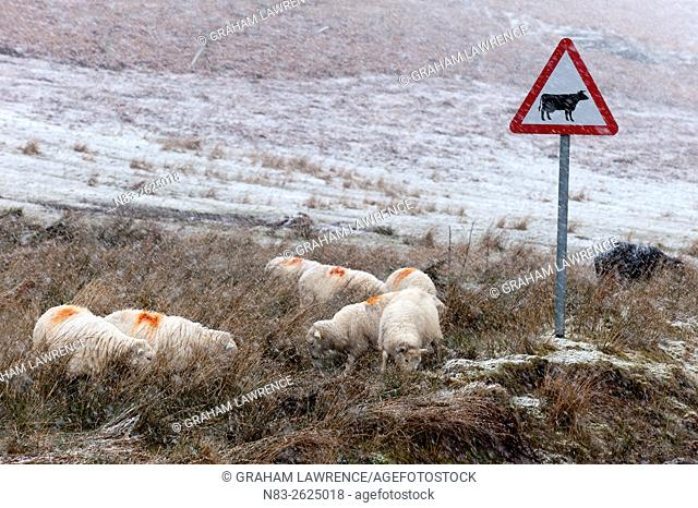 Sheep forage in a wintry landscape in the Elan Valley area at Springtime in Powys, Wales, UK