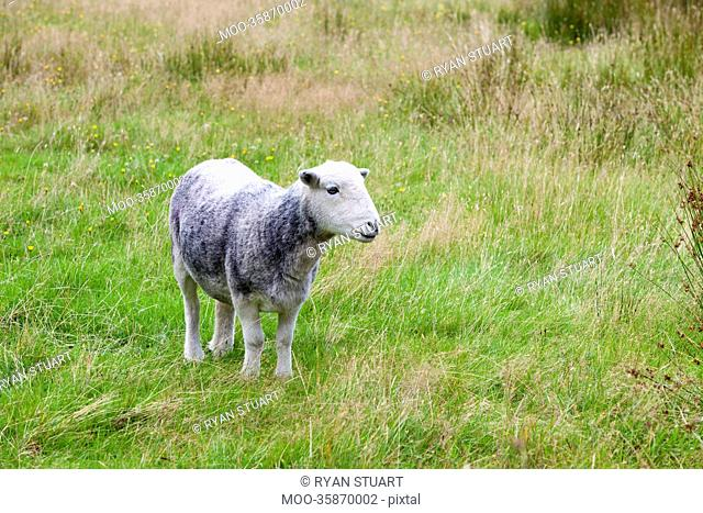 Young sheep on pastured land