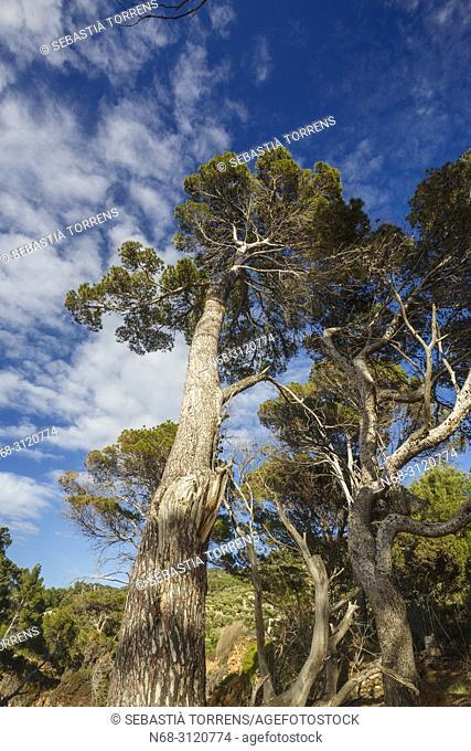 Aleppo pine (Pinus halepensis), Deia, Majorca, Balearic Islands, Spain