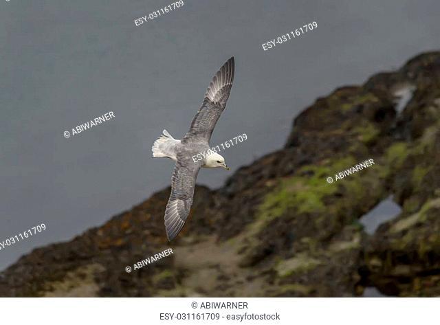 Fulmar, Fulmarus glacialis, in flight over the rocky shore