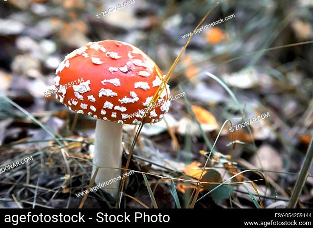 In the woods in a clearing grow mushrooms toadstools